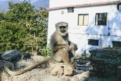 Hanuman-Affe, sitzend auf der Wand, Rishikesh Stockfotos