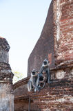 Hanuman langur family staring faraway in ancient city Polonnaruwa, Sri Lanka Stock Image