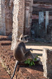 Grey Langur monkey staring ahead in ancient city of Polonnaruwa, Sri Lanka Stock Images
