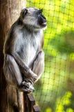 Hanuman-langoer betrachtet einen Zaun stockfotos
