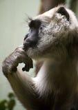 Hanuman Langur Lizenzfreies Stockbild