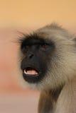 Hanuman Langur Stockfoto