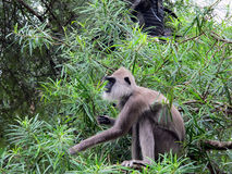 Hanuman langur Stock Image