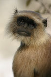 Hanuman langur Royalty Free Stock Photo