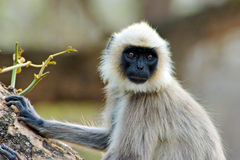 Hanuman Langur Royalty Free Stock Images