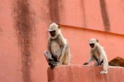 Hanuman Langur Royalty Free Stock Images