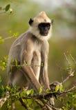 Hanuman langur Fotografering för Bildbyråer