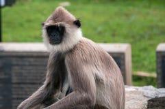 Hanuman langur Arkivfoto