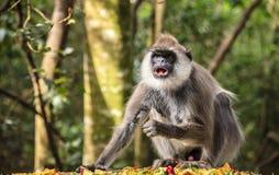 Hanuman langur stock foto