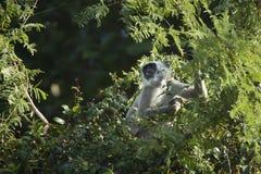 Hanuman Langur, Affe in Nepal Lizenzfreies Stockfoto