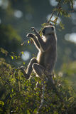 Hanuman Langur-Affe in Nepal Stockfoto