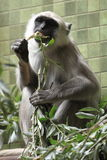 Hanuman langur Royalty Free Stock Photography