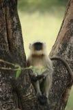 Hanuman Langur-Fallhammer Lizenzfreies Stockfoto