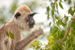 Hanuman Langur - Semnopithecus entellus, Sri Lanka royalty free stock photo