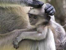 Hanuman Langur - Langur asiatico Fotografia Stock Libera da Diritti
