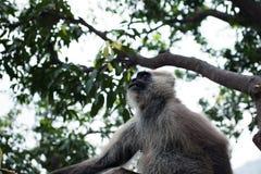 Hanuman Langur małpa na drzewie Zdjęcia Stock