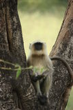 Hanuman Langur Monkey Royalty Free Stock Photo