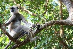 Hanuman Langur Monkey, der herum auf der Niederlassung schaut Lizenzfreies Stockfoto