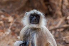 Hanuman Langur Monkey. In Sariska National Park, India Royalty Free Stock Photos