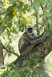 Hanuman Langur monkey in Nepal Stock Photography