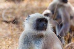 Hanuman Langur Monkey. In Sariska National Park, India Stock Image
