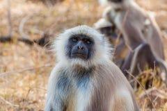 Hanuman Langur Monkey. In Sariska National Park, India Stock Photo