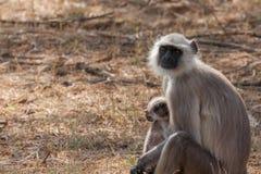 Hanuman Langur Monkey. In Sariska National Park, India Royalty Free Stock Images