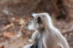 Hanuman Langur Monkey. In Sariska National Park, India Royalty Free Stock Photography