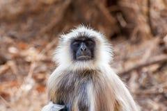 Hanuman Langur Monkey. In Sariska National Park, India Royalty Free Stock Photo