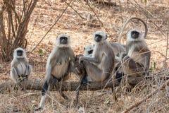 Hanuman Langur Monkeys. Hanuman Langur Monkey in Sariska National Park, India Stock Photo