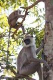 Hanuman Langur Monkeys auf der Niederlassung bei Anuradhapura Stockfoto