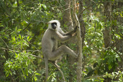 Hanuman Langur perches on a tree at Bardia national park, Nepal Royalty Free Stock Photo