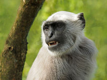Hanuman Langur Stock Photography