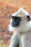 Hanuman Langur Portrait. Hanuman langur in Bandipur National Park, India Stock Image