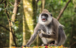 Hanuman Langur. At primate rescue center near Plettenberg Bay, South Africa Stock Photo