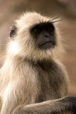 Hanuman langur, Ranthambore National Park, India Royalty Free Stock Photography