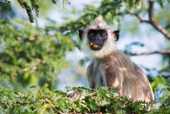 Hanuman Langur - Semnopithecus entellus, Sri Lanka. Hanuman Langur relaxing in the tree, Sri Lanka Royalty Free Stock Photos