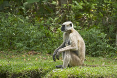 Hanuman Langur in the riverbank, Bardia, Nepal Stock Photos