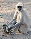 Hanuman Langur Semnopithecus entellus Royalty Free Stock Photo