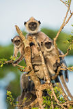 Hanuman Langur - Semnopithecus entellus, Sri Lanka. Hanuman Langur family in the tree, Sri Lanka Stock Photo