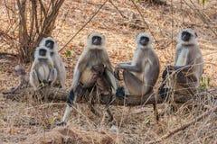 hanuman langurapa Royaltyfri Fotografi