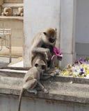Hanuman-Langurmutter und -kind Stockfotografie