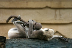 Hanuman langurs. Mother with baby Stock Photography