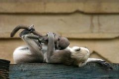 Hanuman langurs Stock Photography
