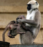 Hanuman langurs. Mother playing with baby stock image