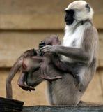 Hanuman langurs Stock Afbeelding