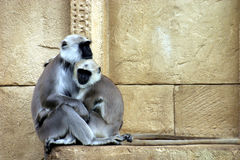 Hanuman langurs Stock Photo