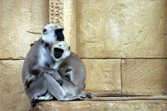 Hanuman langurs. Holy monkey pair Stock Photo