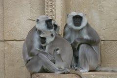 Hanuman langurs. Holy monkey family Stock Image