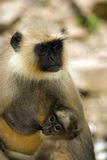 Hanuman langurs, Ranthambore National Park, India Stock Photo
